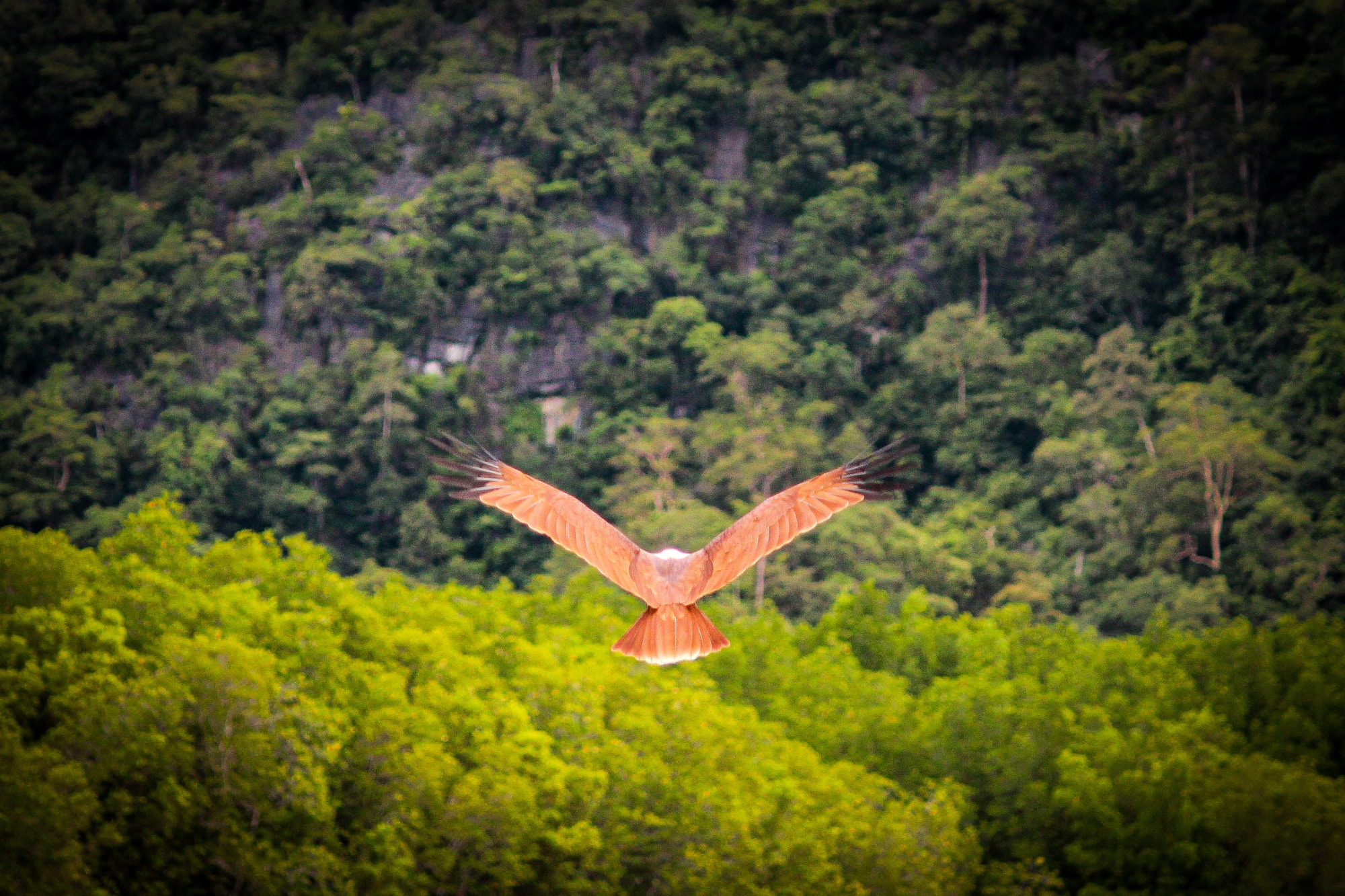 eagle flying over the forest